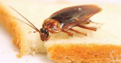 Cucaracha comiendo