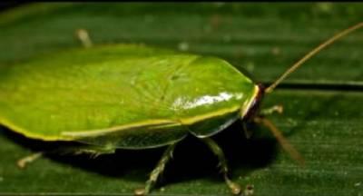 Cucaracha de Cuba