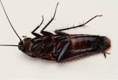 Cucaracha negra muerta