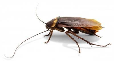 Cucarachas que vuelan