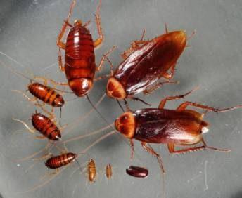 ciclo cucaracha americana
