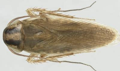 cucarachaBlattella asahinai