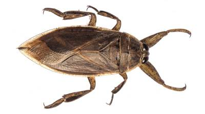 cucaracha acuatica