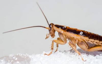 cucaracha alemana físico