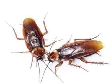 cucaracha americana cultura china