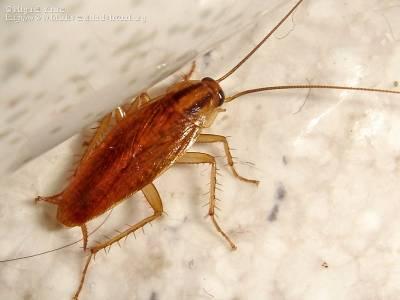 cucaracha blatella germanica