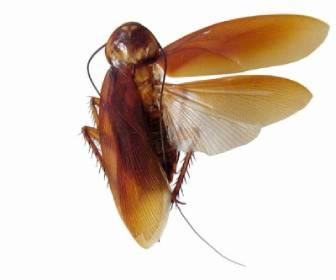 cucaracha con alas volando