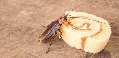 cucaracha eliminar comida
