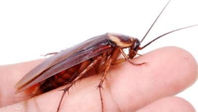 cucaracha muerde