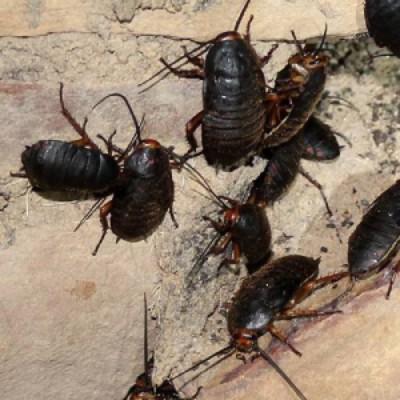 cucaracha negra prevención