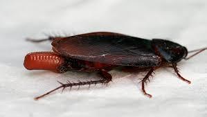 cucaracha periplaneta fuliginosa