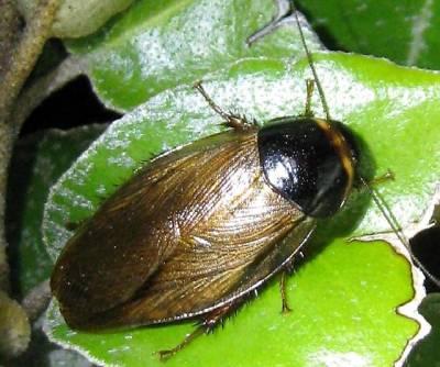 cucaracha surinam