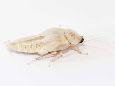 cucarachas blancas