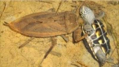 cucarachas de agua picadura