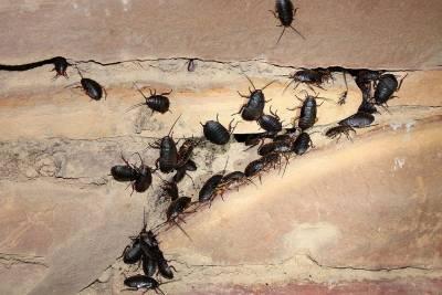 cucarachas negras prevención