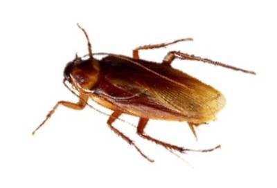 cucarachas-voladoras