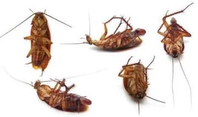 elimina cucarachas