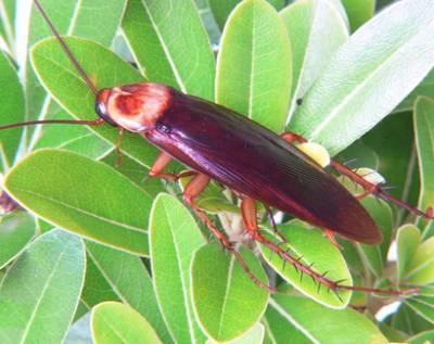 tiempo vida cucarachas