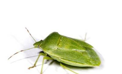 chinche verde caracteristicas